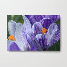 Purple crocus flowers Metal Print