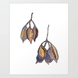 Kurrajong seed pods Art Print