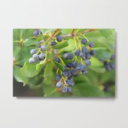 Huckleberry Bush Metal Print