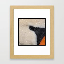 Mute Swan in Winter - CloseUp Framed Art Print