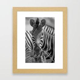 Zebra with grass, Africa wildlife Framed Art Print