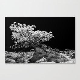 Infrared Torrey Pine Canvas Print