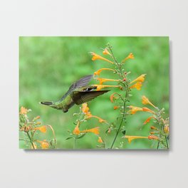 Hovering hummingbird and orange agastache 57 Metal Print