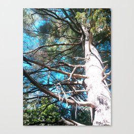 Whit Pine Canvas Print