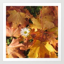 Autumn Photography - Oxeye Daisy Among Leaves Art Print