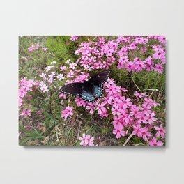 Swallowtail on Pink Phlox Metal Print