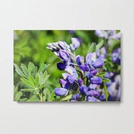 Purple Lupine Photography Print Metal Print