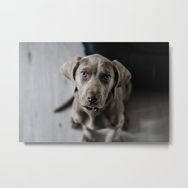 Weimaraner puppy looking sweet Metal Print