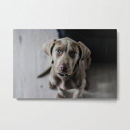 Weimaraner puppy looking sweet Metal Print