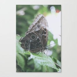 Owl Butterfly on a leaf Canvas Print