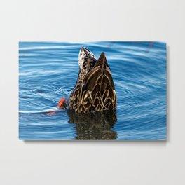Mallard Duck Dabbling Metal Print