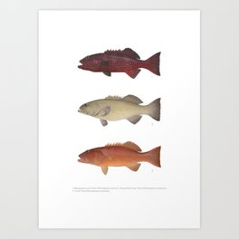 Barrier Reef Coral Trout Collection Art Print