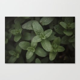 Mint at a desert farm in The Negev, Israel Canvas Print