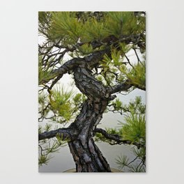 Japanese Red Pine Trunk Bonsai Canvas Print