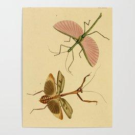 Naturalist Stick Bugs Poster