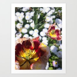 Withering Flowers Amongst Blossoming White Flowers Art Print