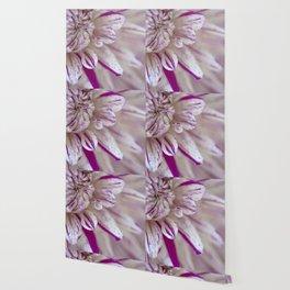 White Pink Purple Dahlia Closeup Macro Wallpaper