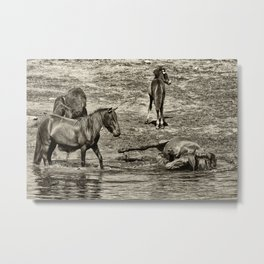 Horses taking a bath and relaxing Metal Print