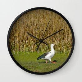 Andean goose (Chloephaga melanoptera) Wall Clock