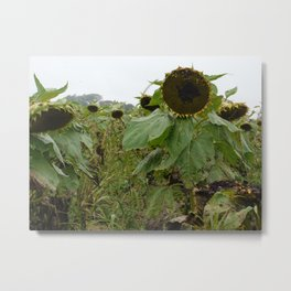 Sullen Sunflowers Metal Print