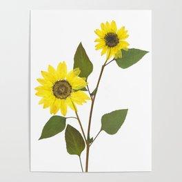 Sunflower. Helianthus annus. Poster