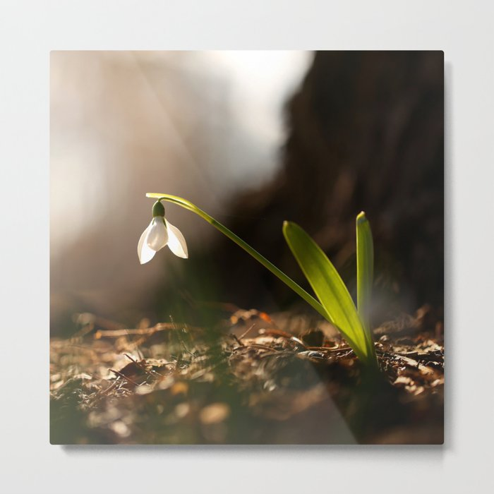 Light In Shade. Snowdrop Flower Bathing In Sun #decor #society6 Metal Print