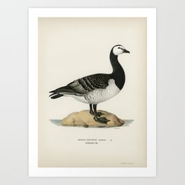 Barnacle Goose (BRANTA LEUCOPSIS) illustrated by the von Wright brothers Art Print