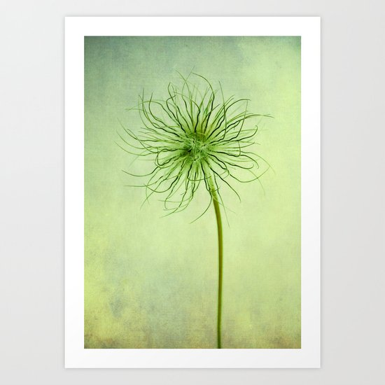 pulsatilla seed head Art Print