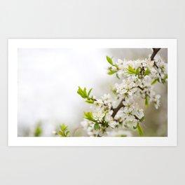Blooming Cerasus cherry tree twig Art Print