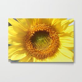 Yellow Sunflower, Close-Up Metal Print