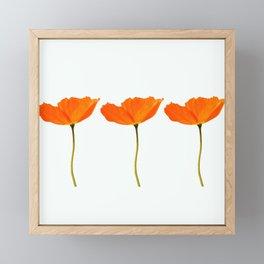 Three Orange Poppy Flowers White Background #decor #society6 #buyart Framed Mini Art Print