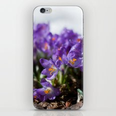 Crocuses in Snow iPhone & iPod Skin