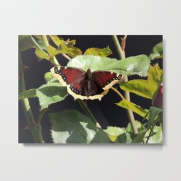 Mourning Cloak Butterfly at Rest on a Rose Leaf Metal Print