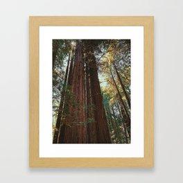Redwood Trees Framed Art Print