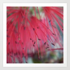 bottlebrush Art Print