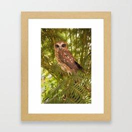 Southern Boobook Owl Framed Art Print