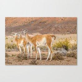 Group of Guanacos at Patagonia, Argentina Canvas Print