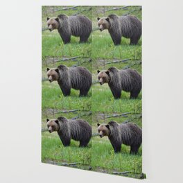 Grizzly encounter in Jasper National Park Wallpaper
