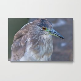 Night Heron Portrait Metal Print