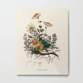 Vintage Camomile Botanical Illustration Metal Print