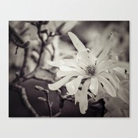 magnolia Canvas Prints featuring magnolia by Bonnie Jakobsen-Martin