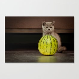 British gray kitten play with a juicy water-melon Canvas Print