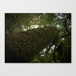 Moss on Tree-Muir Woods, California Canvas Print