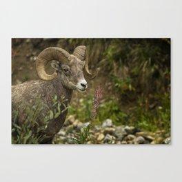 Ram Eating Fireweed Canvas Print