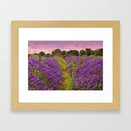 A Norfolk Lavender Field, UK  (Lavandula) Framed Art Print