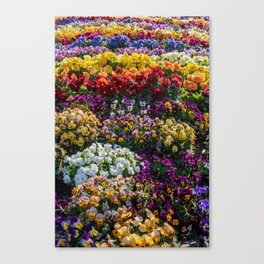 Rainbow of colourful flowers at the Carnival of Flowers in Toowoomba, Queensland, Australia. Canvas Print