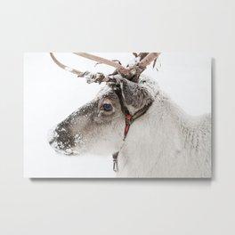 Reindeer with antlers in snow Metal Print
