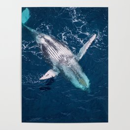 Lounging Whale Poster