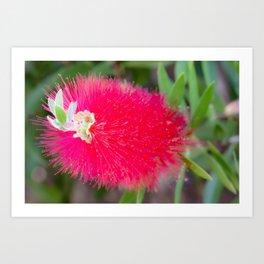 Bottlebrush Flower by Reay of Light Art Print
