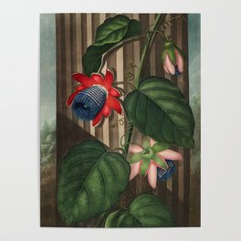 Winged Passion Flowers : Temple of Flora Poster